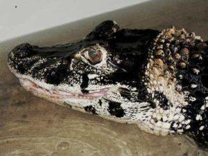Melanosuchus niger