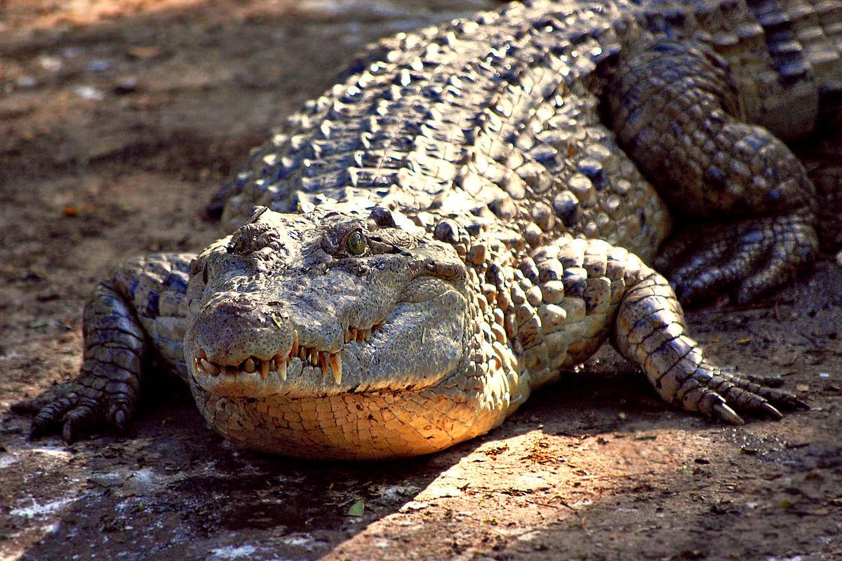 Crocodylus mindorensis